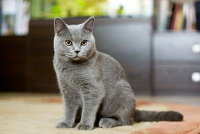 Британский кот в 6 месяцев фото
