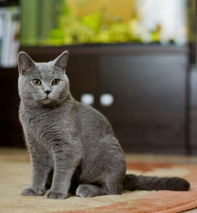 Британские коты 6 месяцев